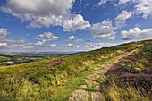 The Cleveland Way, flanked by heather in summertime, North Yorkshire Moors, Yorkshire, England, United Kingdom, Europe