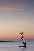 A driftwood tree at sunset in water near Harbour Island, Eleuthera, The Bahamas, West Indies, Atlantic, Central America