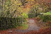 Footpath through autumnal woodland near Grasmere, Lake District, Cumbria, England, United Kingdom, Europe