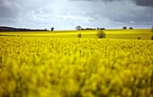 Rape fields, Cambridgeshire, England, United Kingdom, Europe