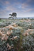 Hoar frost coated heather, bracken and pine tree in the New Forest National Park, Hampshire, England, United Kingdom, Europe