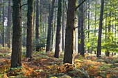 Misty autumn morning in a pine wood near Webber's Post, Exmoor National Park, Somerset, England, United Kingdom, Europe
