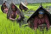 Female farmers at work in rice nursery, with rain protection, Annapurna area, Pokhara, Nepal, Asia