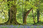 Beech and oak trees above a carpet of bluebells in a woodland, Blackbury Camp, Devon, England, United Kingdom, Europe