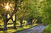 Beech tree lined road in evening sunshine, Wimborne, Dorset, England, United Kingdom, Europe