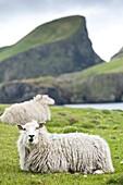 Domestic sheep. Fair Isle, Shetland Islands, Scotland, United Kingdom, Europe