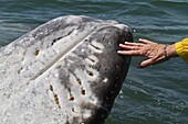 California gray whale (Eschrichtius robustus) touched by excited whale watcher, San Ignacio Lagoon, Baja California Sur, Mexico, North America