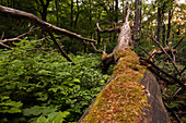 natural untouched forest, fallen trees, near Seesen, regional forest, Landscape, Lower Saxony, Germany