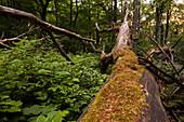 naturbelassener Urwald bei Seesen, heimischer Wald, Totholz, umgefallene Baeume, Moose, Flechten, Natur, Niedersachsen, Deutschland