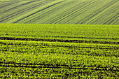 Gruene Aussaat, Feld, Anbau, Setzling Traktorspueren, Landwirtschaft, Niedersachsen, Deutschland
