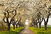 Alley of cherry trees, Wendland region, Lower Saxony, Germany