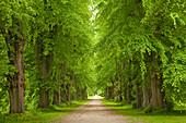 Lime tree alley in Putbus, Ruegen island, Mecklenburg-West Pomerania, Germany