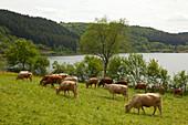 Grazing cattle at Meerfelder Maar, Vulkaneifel, Eifel, Rhineland-Palatinate, Germany