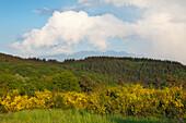 Landscape with gorse, near Nuerburg, Eifel, Rhineland-Palatinate, Germany