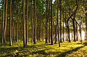 Gespensterwald near Nienhagen, Baltic Sea, Mecklenburg-West Pomerania, Germany