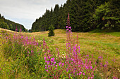Willow-herb at a valley near Lauscha village, nature park Thueringer Wald,  Thuringia, Germany