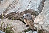 wild marmot between crevice, Hintertux Glacier, Zillertal, Tyrol, Austria, Alps