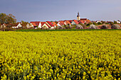 View across blossoming rape field and blooming apple-tree at Garstadt, Community of Bergrheinfeld, Spring, Unterfranken, Bavaria, Germany, Europe