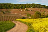 View across blooming rape fields at vineyard Falkenberg, Spring, Falkenstein, Gemeinde Donnersdorf, Unterfranken, Bavaria, Germany, Europe