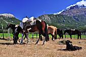 Horses and dog at mountains of Cerro Castillo, Carretera Austral, Región Aysén, Patagonia, Andes, Chile, South America