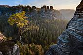 Pine at Wehlgrund valley with view to rock formations Gans and Lokomotive at sunset with fog, Neurathen Castle, Bastei, Rathen, Elbe Sandstone Mountains, Saxon Switzerland, Saxony, Germany