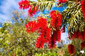 Bottlebrushes, Callistemon, Red flowers, Algarve, Portugal