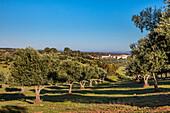 Olive trees and finca near Beja, Korkeichen, Alentejo, Portugal