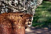 Detail of cork oaks, Alentejo, Portugal