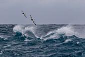 Adult cape petrels (Daption capense) in rough seas in English Strait, South Shetland Islands, Antarctica, Polar Regions