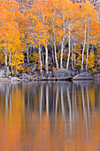 Golden coloured fall foliage and reflections on the shores of Intake 2 lake in the Eastern Sierras, near Bishop, California, United Staes of America, North America