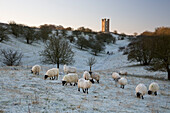 Broadway Tower and sheep in morning frost, Broadway, Cotswolds, Worcestershire, England, United Kingdom, Europe