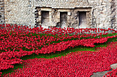 Ceramic poppies comemorating the fallen UK and Commonwealth soldiers of the First World War, the 100th anniversary of the begining of the war in 2014, Tower of London, London, England