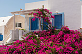 Bright pink flowers on a shrub outside a house, Oia, Santorini, Cyclades, Greek Islands, Greece