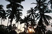 Palm trees on Anjuna Beach at sunset, Goa State, India, Asia.