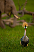 Grey Crowned Crane (Balearica regulorum) in front of elephant, Ol Pejeta Conservancy, Kenya