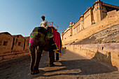 Elephants coming down path to Amber Fort, Amer, Jaipur, India
