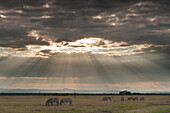 Zebra feeding on grassland in front of dramatic clouds at dusk, Ol Pejeta Conservancy, Kenya