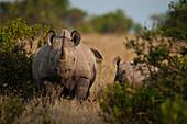 Black rhino with baby, Ol Pejeta Conservancy, Kenya