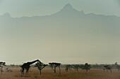 Giraffe at dawn, Ol Pejeta Conservancy, Kenya