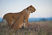 Two lionesses at dusk, one with GPS radio collar, Ol Pejeta Conservancy, Kenya