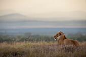 Lioness at dusk, Ol Pejeta Conservancy, Kenya