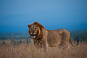 Male lion at dusk, Ol Pejeta Conservancy, Kenya