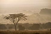 Acacia tree at dawn, Ol Pejeta Conservancy, Kenya