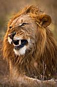Male lion snarling, Ol Pejeta Conservancy, Kenya