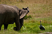 Grey Crowned Crane on nest scaring off elephant, Ol Pejeta Conservancy, Kenya