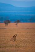Cheetah on grassy plain, Ol Pejeta Conservancy, Kenya