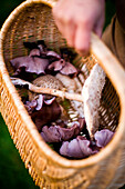 Foraging for edible wild mushrooms with a wicker basket of mushrooms, Devon, England