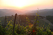 Sunset And Vines And Tuscany Countryside, On Edge Of 'radda In Chianti', A Beautiful Small Town And A Famous Region Known For Its Chianti Wine, In Tuscany. Italy. June.