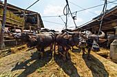 Water buffaloes at the Bolu livestock market, Rantepao, Toraja Land, South Sulawesi, Indonesia