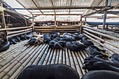 Pigs at the Bolu livestock market, Rantepao, Toraja Land, South Sulawesi, Indonesia